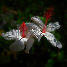 White Hibiscus by Geoffrey Higges