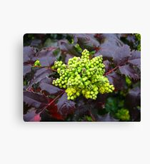 Holly, Cabbage  Canvas Print