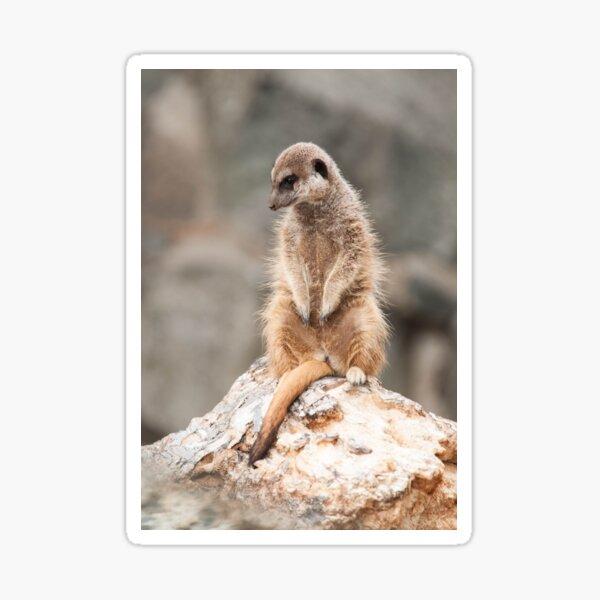 Meerkat Portrait Photography Sticker
