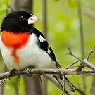 Male Red Breasted Grosbeak by michelsoucy