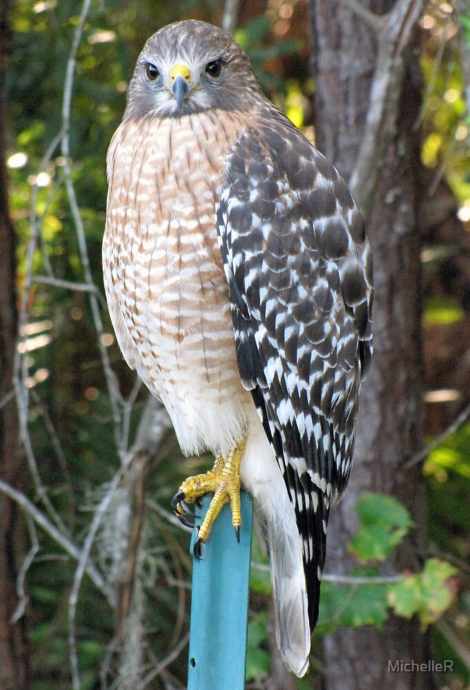 The Hawk by MichelleR
