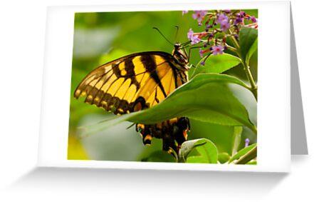 Monarch by Dan Lauf