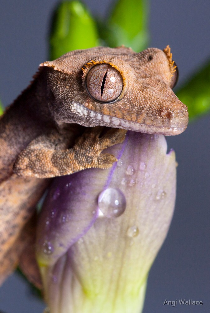 Baby Crested gecko portrait by Angi Wallace