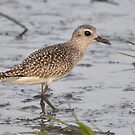 Juvenile Black-bellied Plover by Kathy Baccari