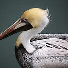 Brown Pelican Up Close by Paulette1021