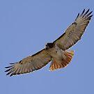 Hawk in flight by Gregg Williams