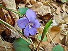Blue Violet Wildflower - Viola spp by MotherNature