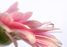 Gerbera Reflection  by Heather Prince