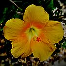 Yellow Hibiscus Flower by Geoffrey Higges