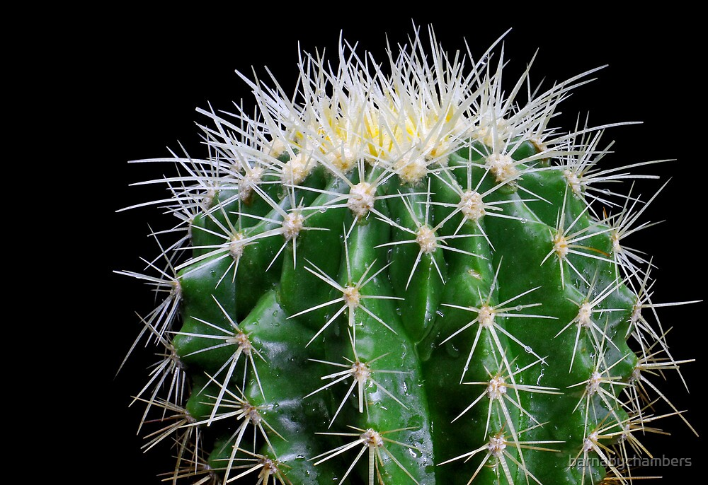 golden barrel cactus 2 by barnabychambers