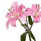 Pink Lily by Lynne Morris