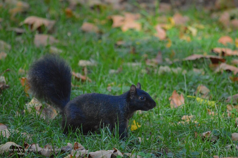 Sciurus Carolinensis - Black Squirrel | New York City, New York  by © Sophie W. Smith