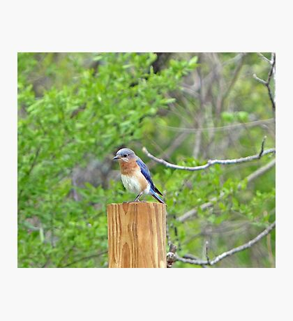 Bluebird Photographic Print