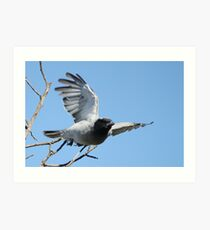 Black-faced Cuckoo Shrike Art Print