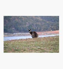 Curious Kangaroo at Wyangala Photographic Print