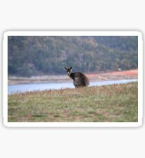 Curious Kangaroo at Wyangala Sticker