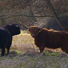 Highland Coos by Tony Reed