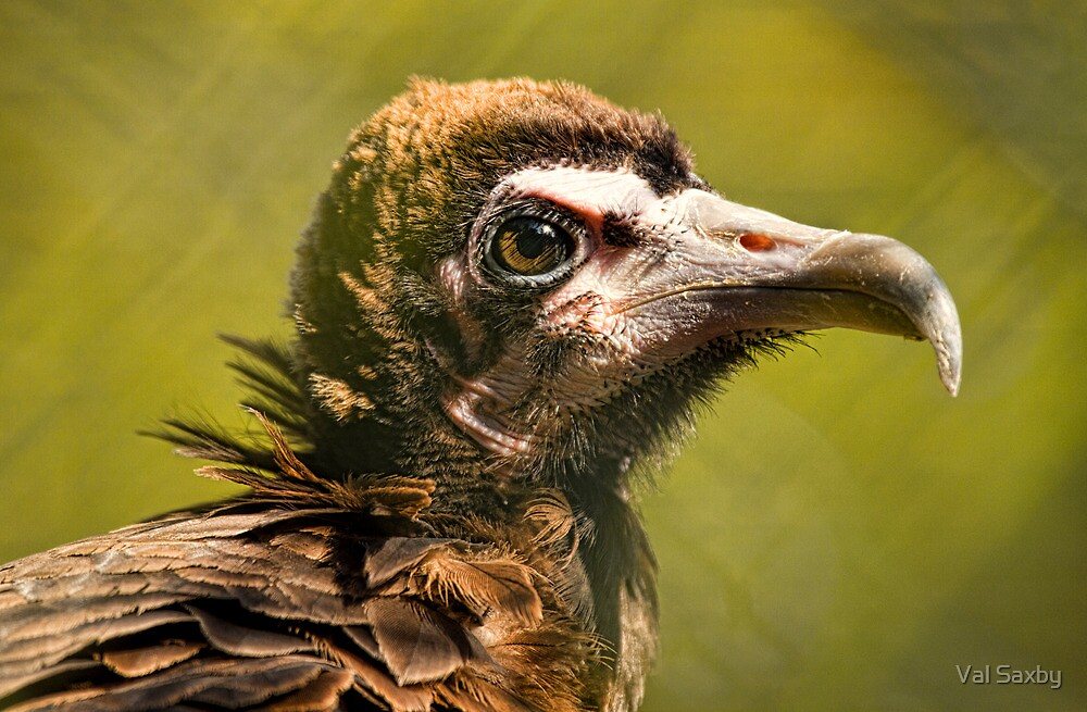 Hooded Vulture by Val Saxby