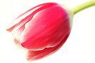 A Humble Tulip by Bob Daalder