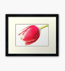 A Humble Tulip Framed Print