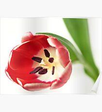 Confident Tulip... Poster