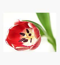 Confident Tulip... Photographic Print
