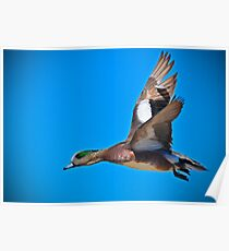 American Wigeon Poster