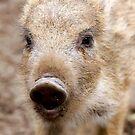 boar by wistine