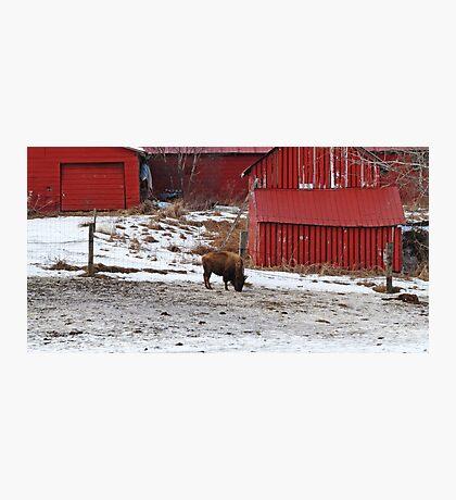 Barn Buffalo Photographic Print