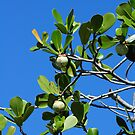 Figs by glennc70000