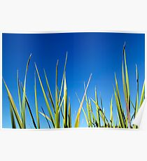 Blades of Grass against a clear blue summer sky Poster