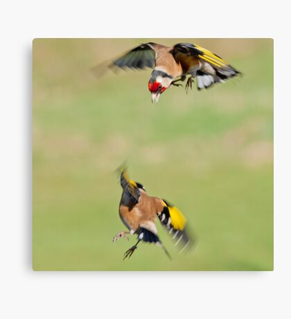 Goldfinches in flight Canvas Print
