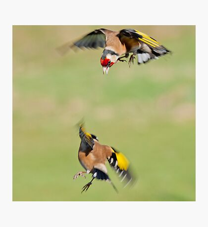 Goldfinches in flight Photographic Print