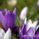 Experiments with Crocuses II by Susan Dailey