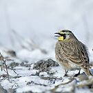 Horned Lark by Wayne Wood