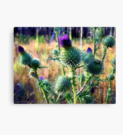 Canadian Thistle Canvas Print