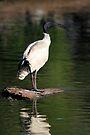 Poser: Australian White Ibis by Carole-Anne
