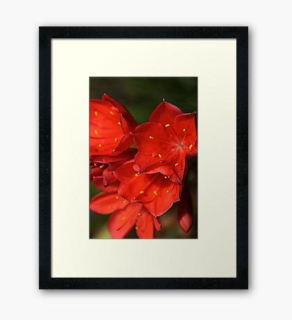 Belladonna Lily Framed Print