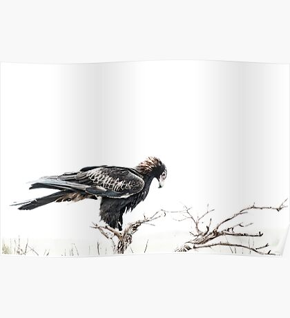 Contemplation, Wedge Tail Eagle on White Poster