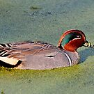 Green Winged Teal Duck (Male) by Kathy Baccari