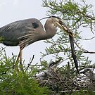 Great Blue Heron Feeding It's Chicks by Kathy Baccari