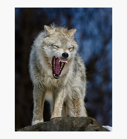 Angry like the wolf Photographic Print
