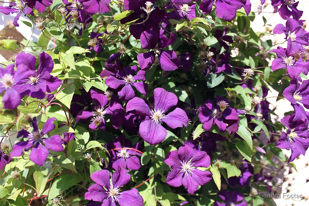 Purple Clematis by Sandra Foster