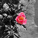 Selective tulip by Robin Nellist