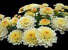 Lemon Meringue Chrysanthemums by MotherNature