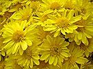 Sunshine Yellow Chrysanthemums by MotherNature