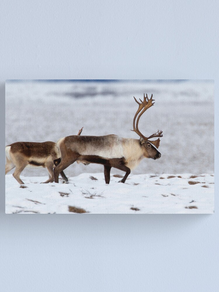 Alternate view of Caribou Migration Canvas Print