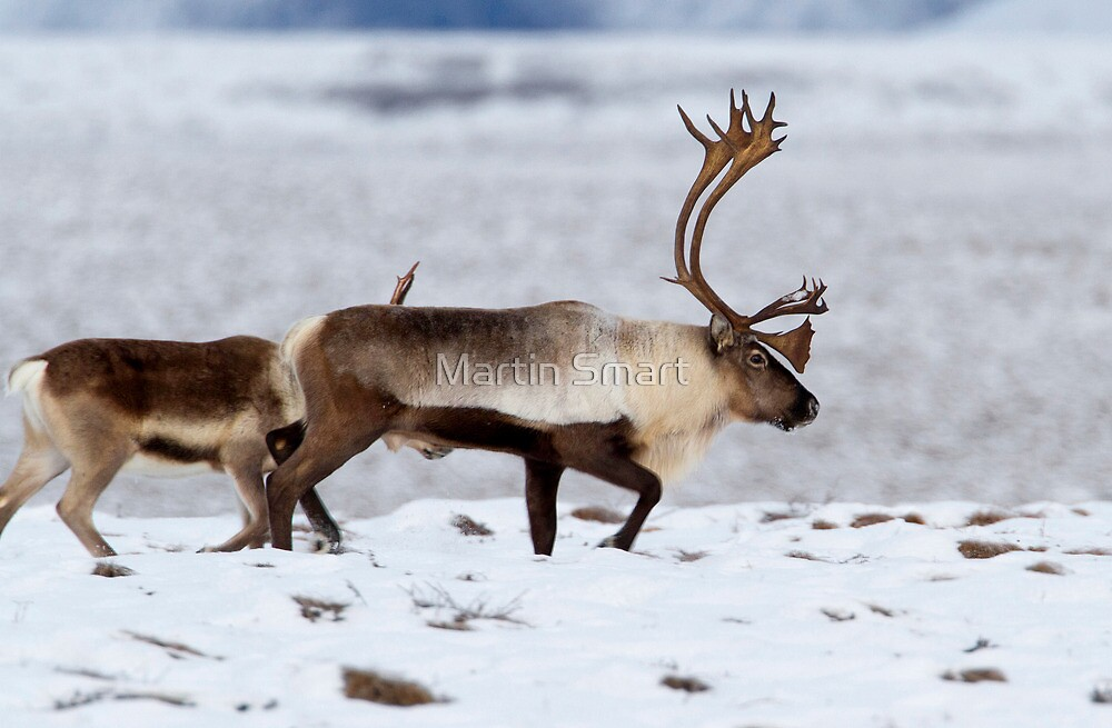 Caribou Migration by Martin Smart