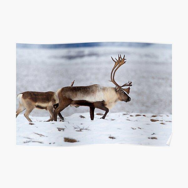 Caribou Migration Poster