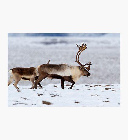 Caribou Migration Photographic Print